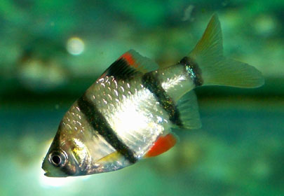 Tiger Barb - Quantity of 3