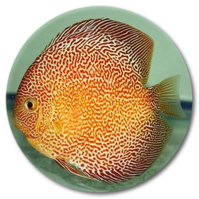 Tiger Snakeskin Discus Fish 2 inch