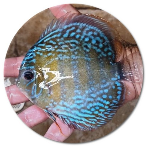 Wild Caught Uatuma Blue Discus - 5-6 inch