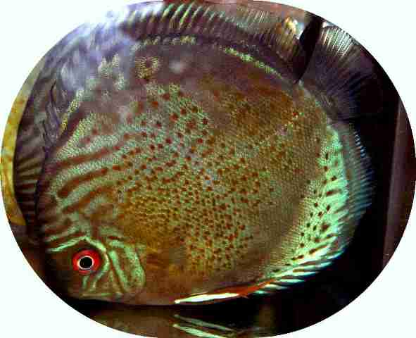 Wild Caught Ucayali River Red Spotted Discus - 4-5 inch