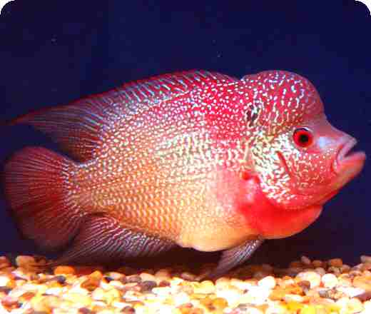 Flowerhorn The Hybrid Cichlids: FlowerHorn FishHua Lou Han Fish