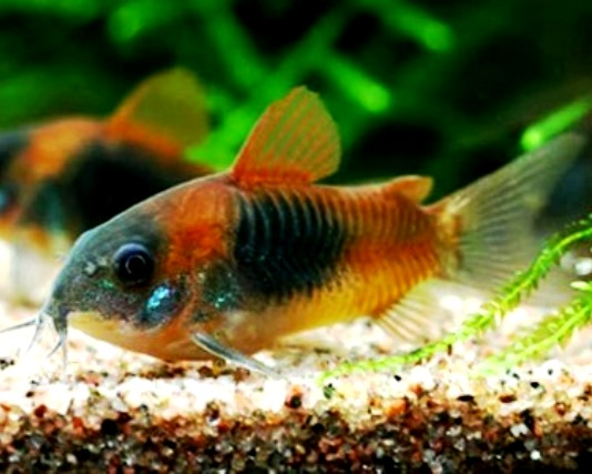 Corydoras - Orange Venezuelanus