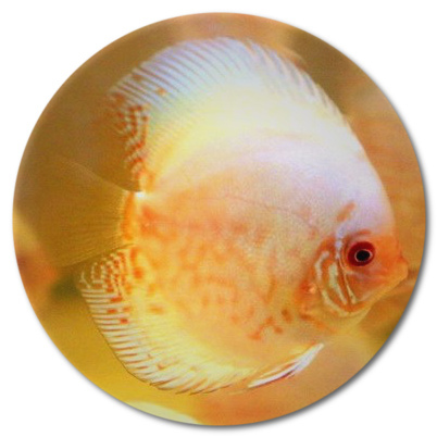 White Angel Discus - 2-3 inch