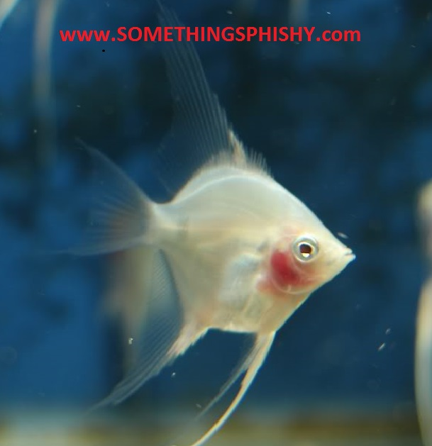 Angelfish - White Blushing - Medium