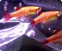 WHITE CLOUD GOLD TETRA - QUANTITY OF 12