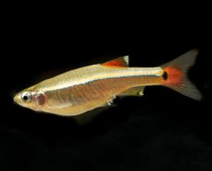 WHITE CLOUD TETRA - QUANTITY OF 12