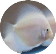 White Diamond Discus Fish - 2.5 inch