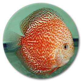 White Tiger Discus Fish 2-3 inch