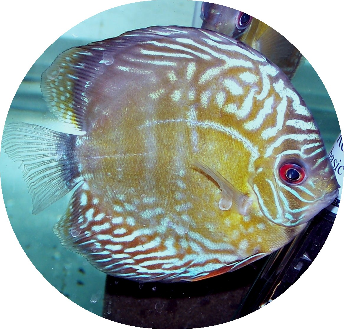 Wild Caught Japatu Royal Blue Face Discus - 6 inch