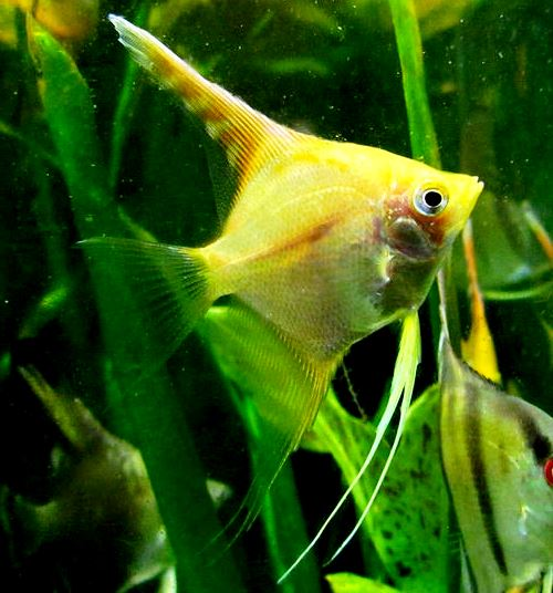 Angelfish - Yellow Platinum - Medium - Quantity of 5