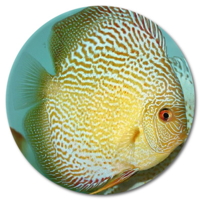 Yellow Tiger Discus  3-4 inch