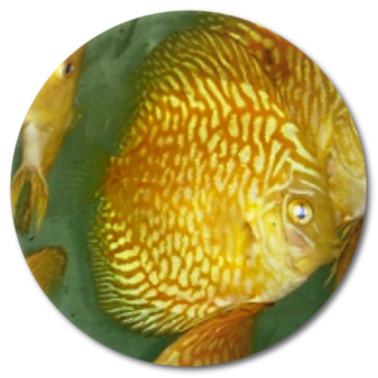 Yellow Mosaic Dragon Discus Fish - 3 inch