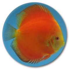Red Melon (Yellow Faced) Discus Fish - 2.5 inch