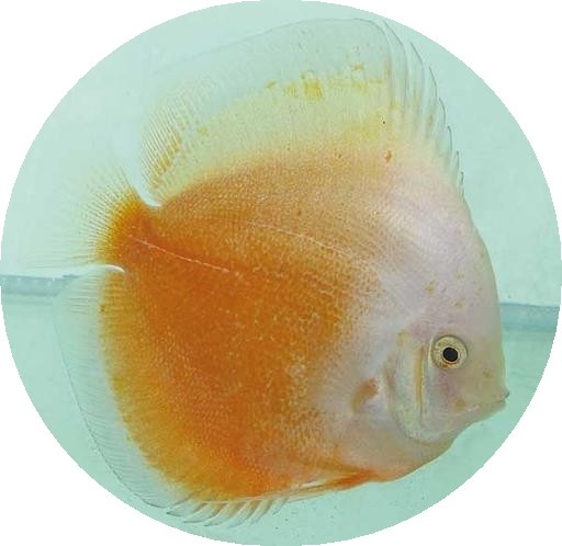 Yellow White Discus - 2-3 inch