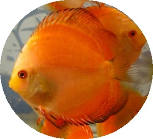 Golden Marlboro Discus Fish - 2 inch