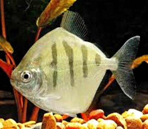 for Silver dollar fish for sale