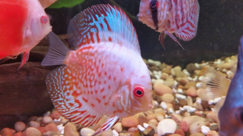 New Strain White Angel Discus by Bob Bonacorsi