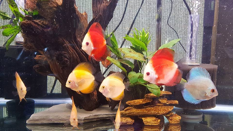 Love my discus ! Picture and tank by Rose Buckelew