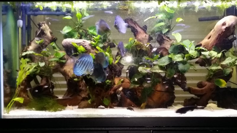 My discus tank by Graham Thomas