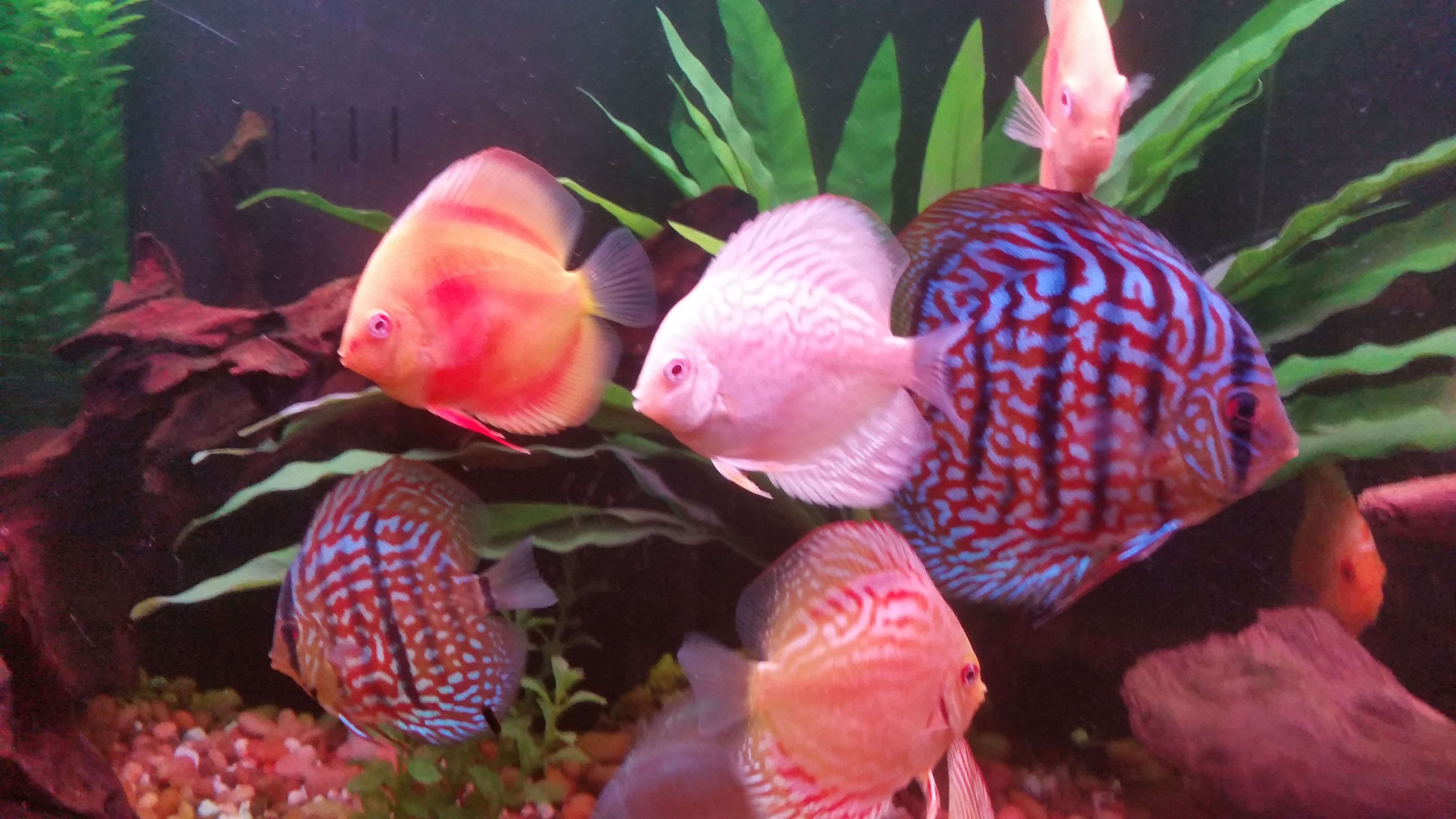 My Discus Feeling Good in their New Home
