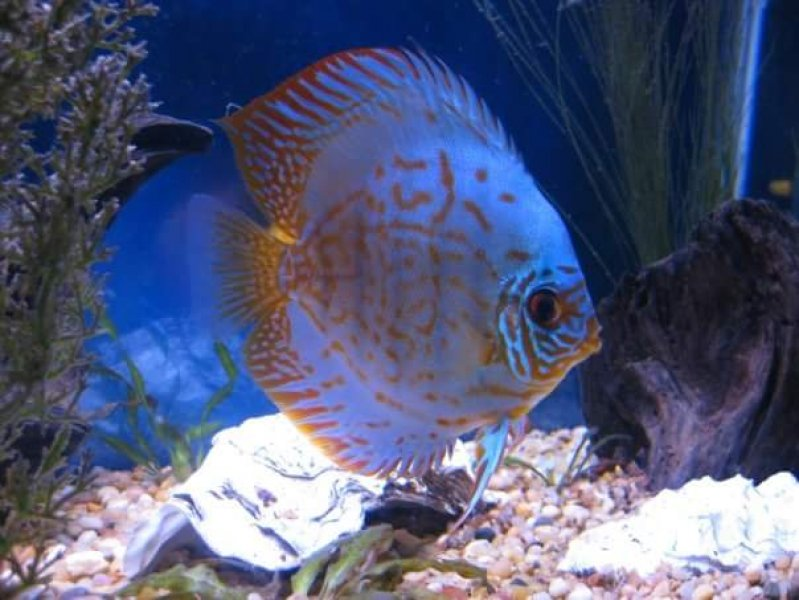 Discus purchased from Somethingsphishy by Robert Pellegrino of Napa California