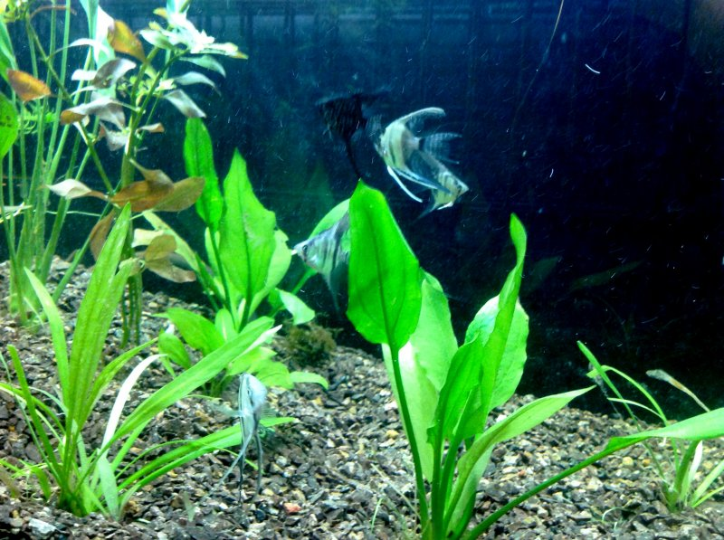 Angelfish Tank by Kathleen Jacobson