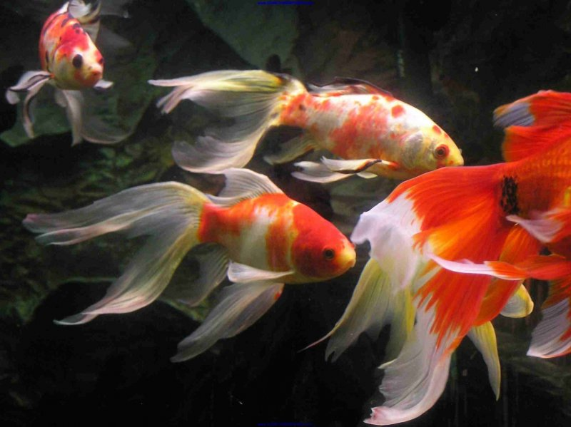 Longfin Goldfish - Somethingsphishy