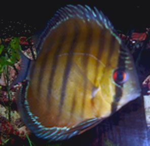 Blue Autuma Discus - Chris Sahleen