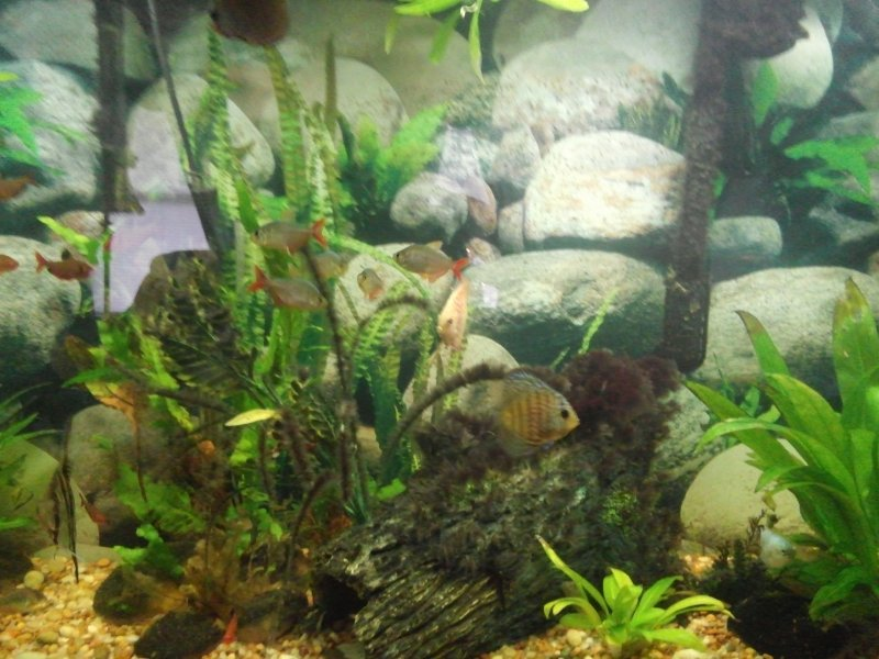 2 inch assorted discus in community aquarium by Brad Pemberton