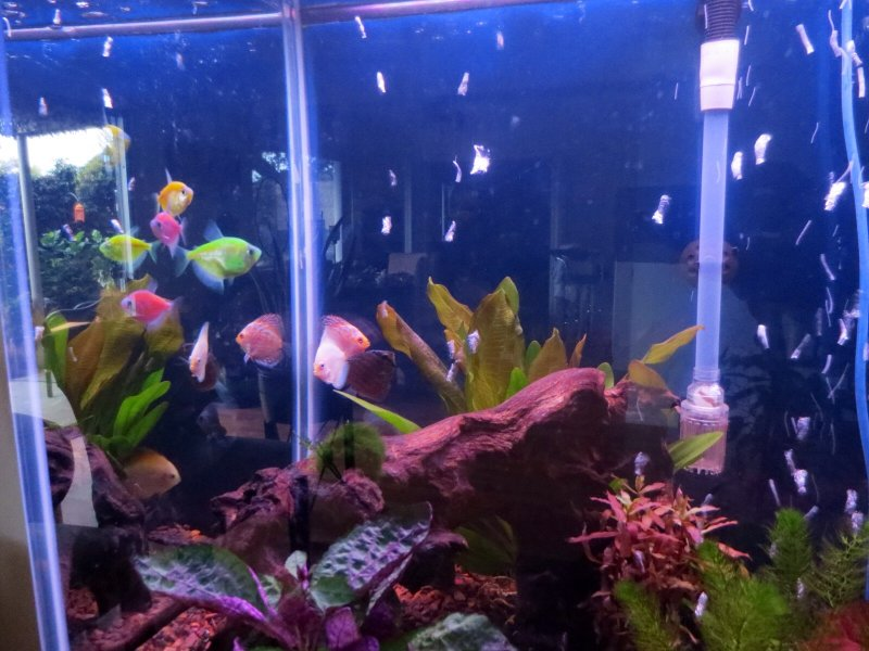 My new Glofish and Discus by Dwayne Baker
