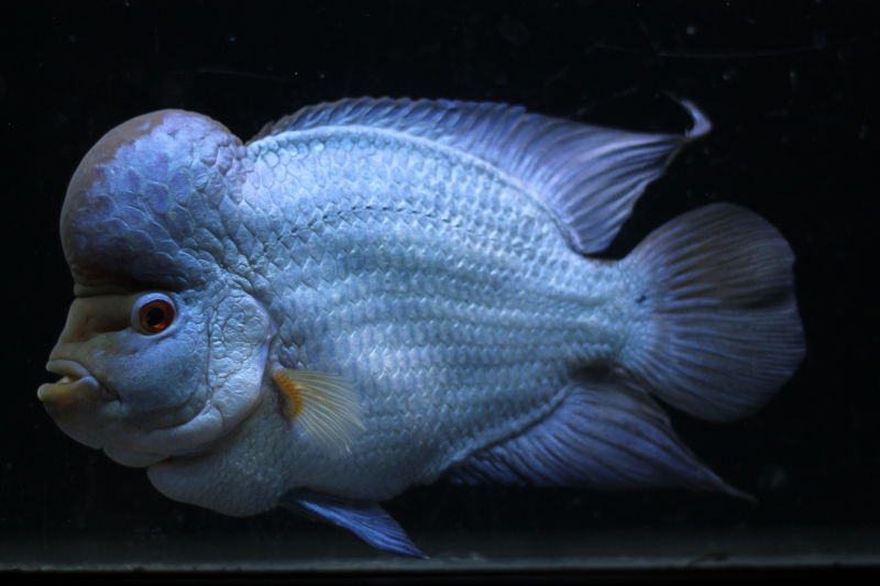 Brilliant Blue Flowerhorn purchased as a baby by David Timmons from Somethingsphishy.  It is now used in ads by the United Flowerhorn Association.