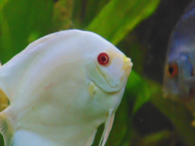 Newly Arrived Platinum Albino Discus by Gary Kakiki