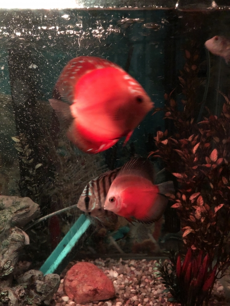 Aqua green, mandarin sunrise and red white discus.  Picture by Hauwa Usman