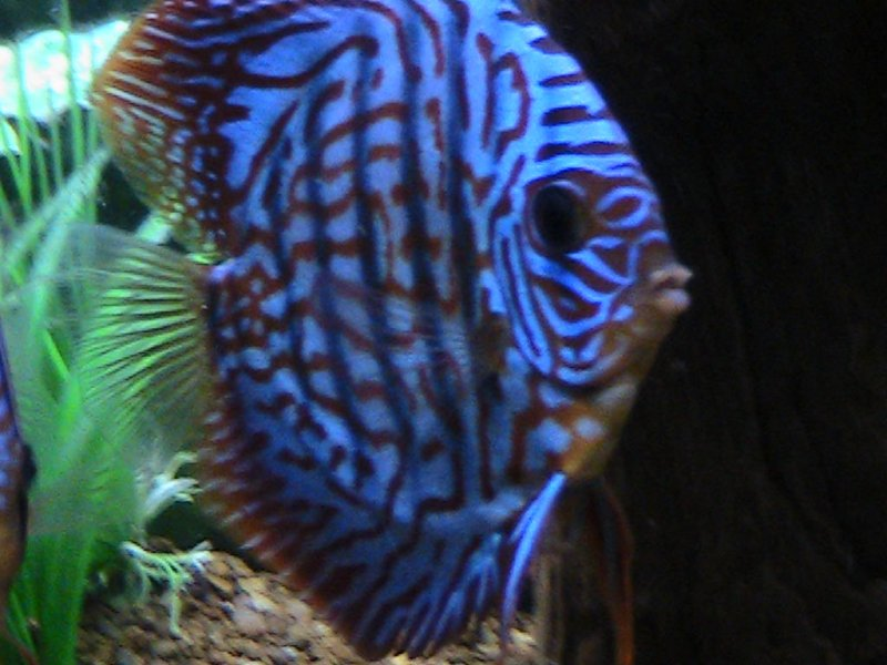 my beautifull blue and red discus - Steven Sachs