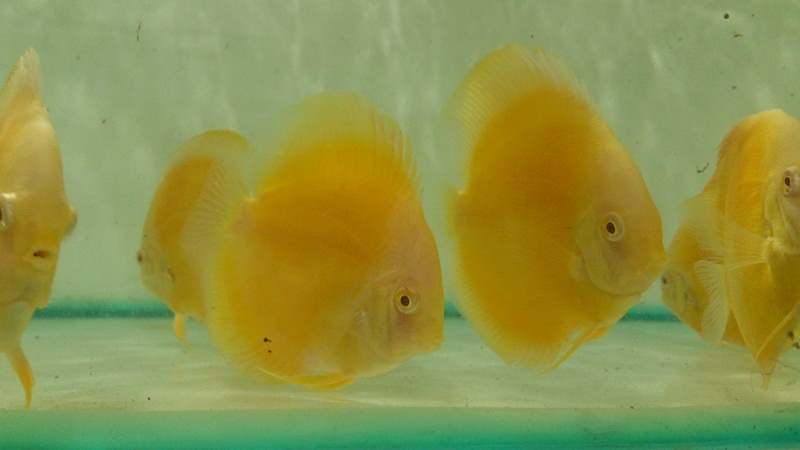 GOLDEN ALBINO DISCUS BY SOMETHINGSPHISHY