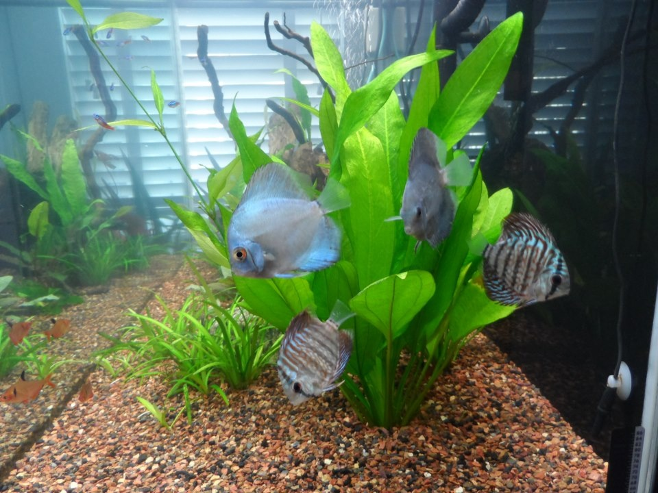 Our 4 new discus one day after receiving them. Amazingly beautiful quality fish and super great service and shipping from you all at SomethingsPhishy. by Bill Shreeve