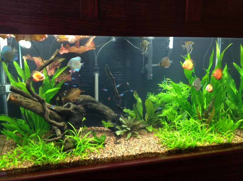 90 gallon planted Discus tank by Billy Shreeve