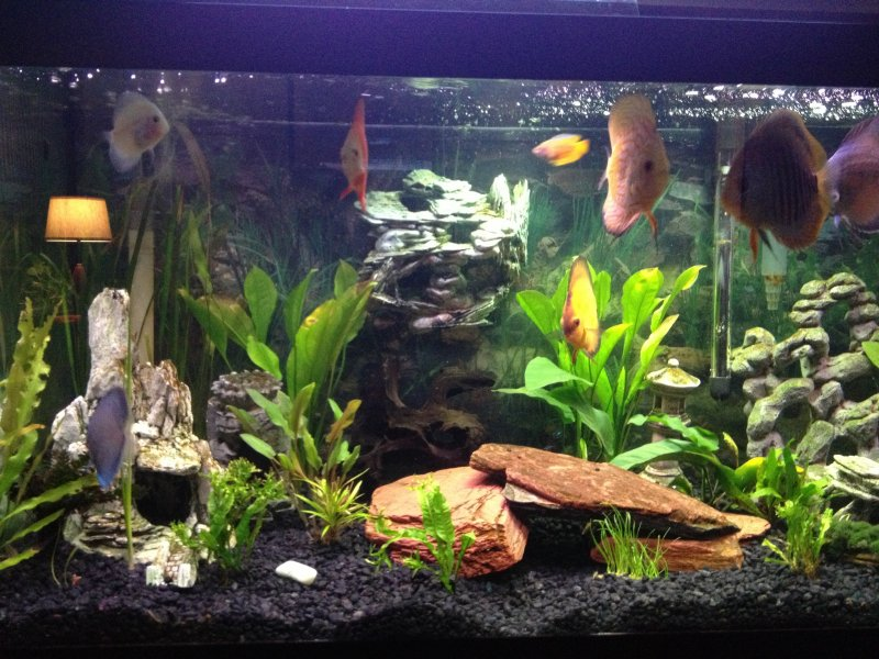Discus and live plants by Dennis Collins