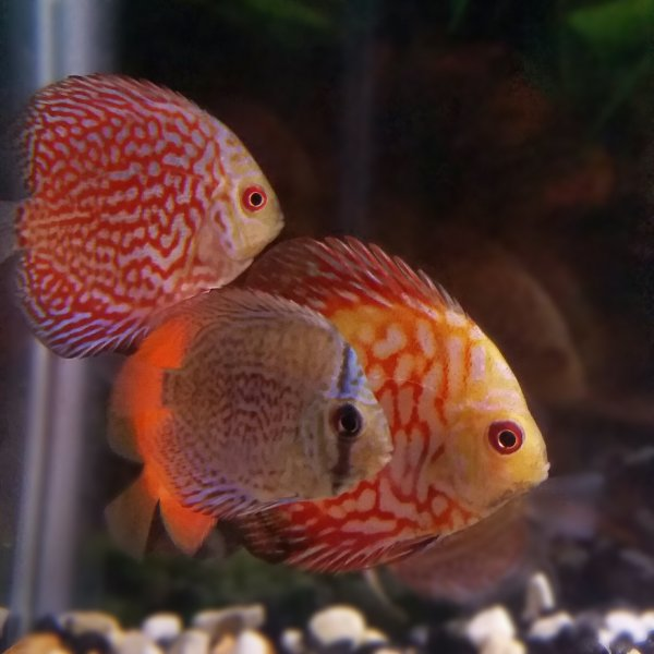 White diamond discus fish for sale at for Live discus fish for sale