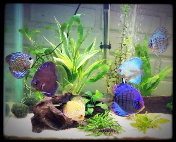 Kimberly Montoney Discus Aquarium