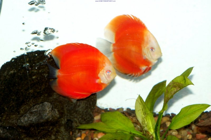 Red Melon Discus - Somethingsphishy
