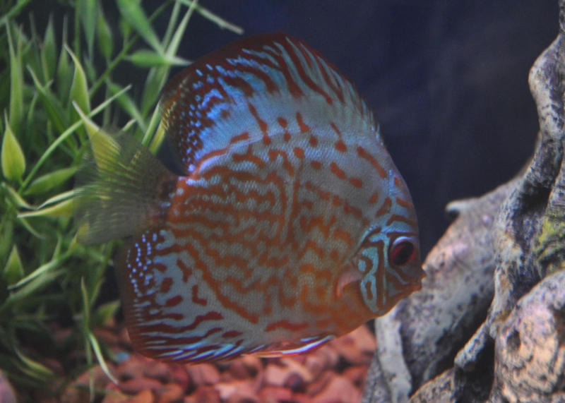 My Blue Discus by Ernie Black