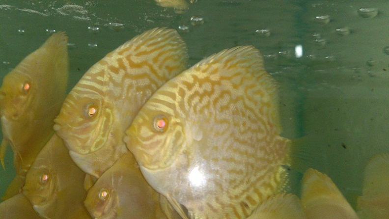 GOLDEN ALBINO DRAGON DISCUS BY SOMETHINGSPHISHY