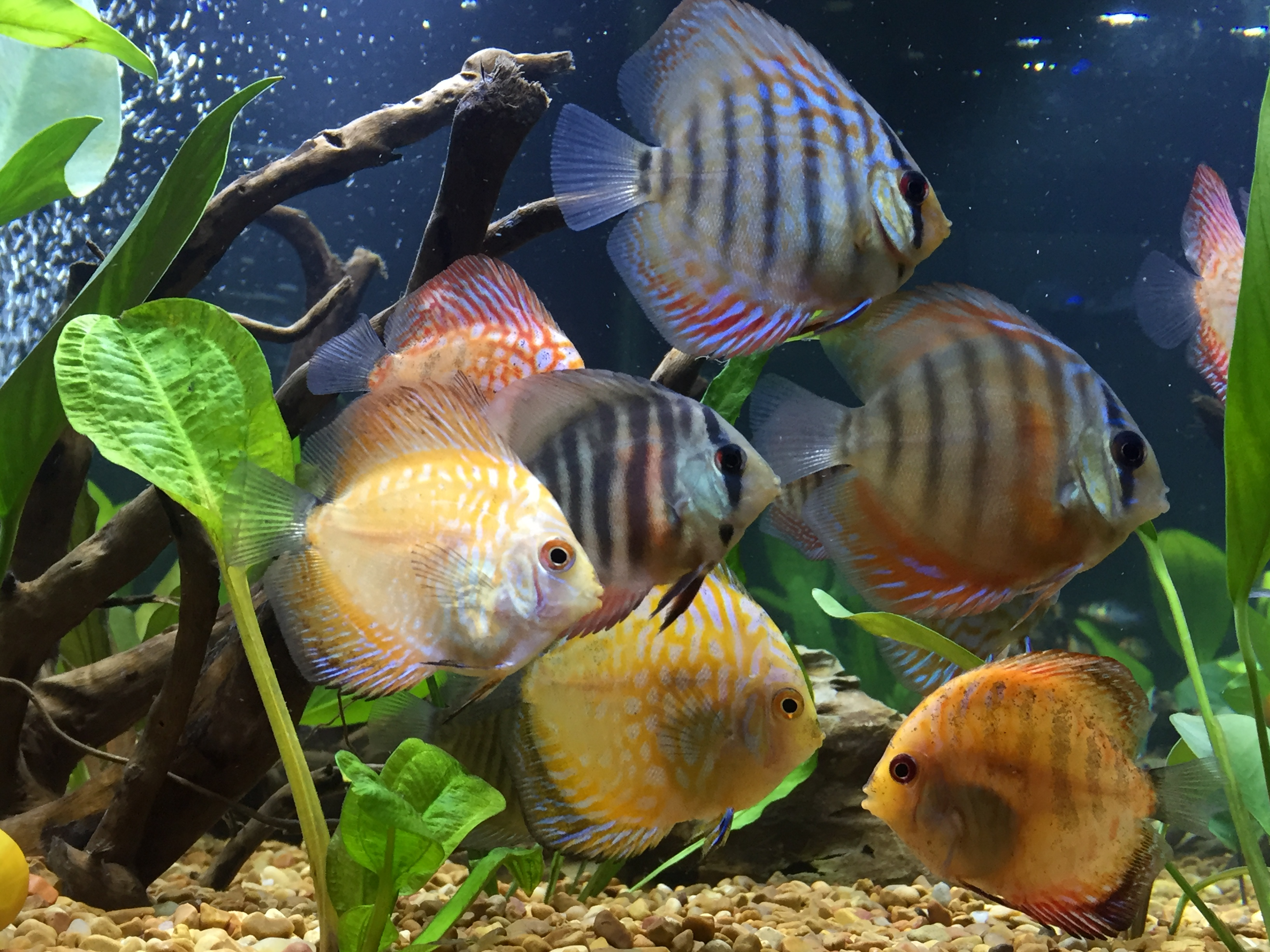 Happy Discus Group by Chris Lawrence