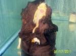bushynose-pleco-with-eggs-7c9e26ce55ed13e03e4cb44701697e4aa2dd479c