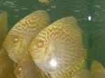 pigeon-golden-albino-1-e4ec328ae7545d5f9f2fc39608874cf9f27c8c20