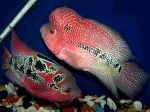 showcase-red-cherry-flowerhorn-7e2423267bde2abacd0a1a09dc7cc2be4e5b7f53