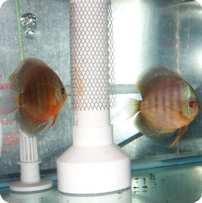 Mated Discus Pair With Eggs